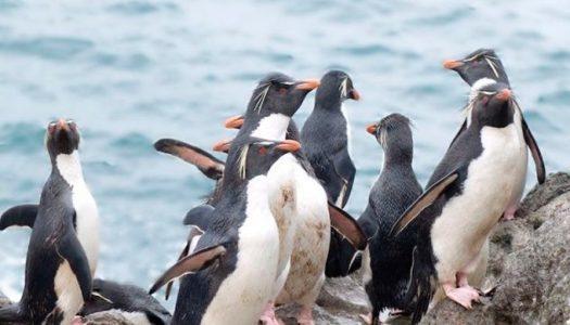 Estudios genéticos en pingüinos revelan cómo impactó el cambio climático en épocas pasadas