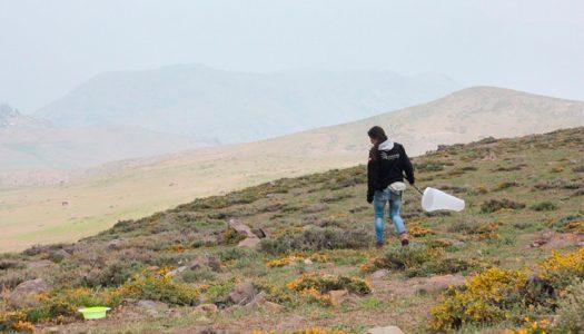 Descubren una nueva especie de abeja chilena en Farellones: fue bautizada en honor a las mujeres en ciencia