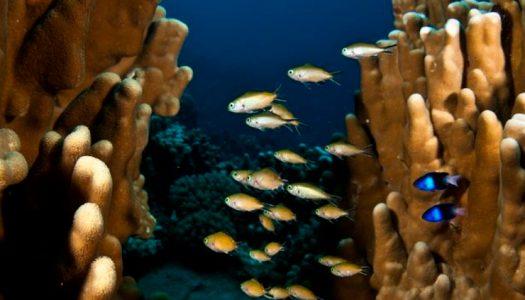 Estudio de peces en arrecifes Rapa Nui establece «juventud» y particularidades de especies endémicas