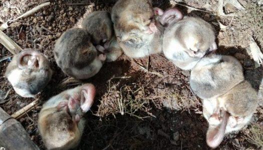 Descubren población desconocida de monito del monte en la Región del Maule