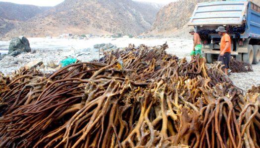 Pesca ilegal de algas: ¿qué dice al respecto el académico Alejandro Perez Matus?