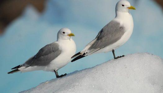 La desaparición del hielo en el Ártico amenaza las poblaciones de aves marinas